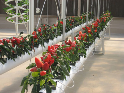 Hydroponic-Peppers